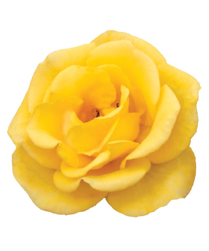 Rose Gilded Sun™
