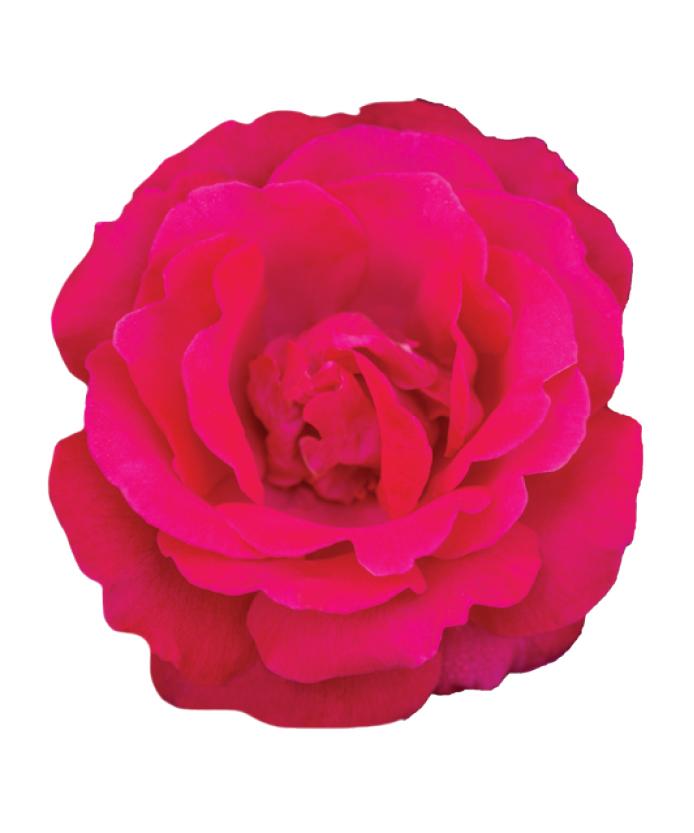 Rose Sweet Spirit™