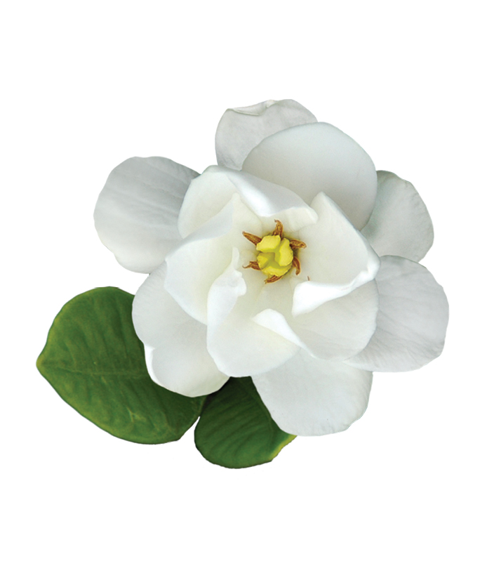 Gardenia 'Buttons'