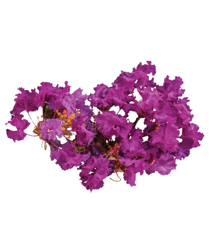 Crape Myrtle Bellini® Grape