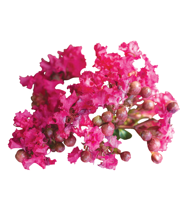 Crape Myrtle Bellini® Raspberry