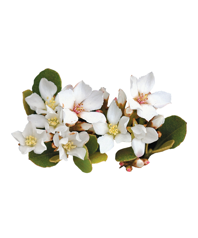 Hawthorn Oriental Pearl