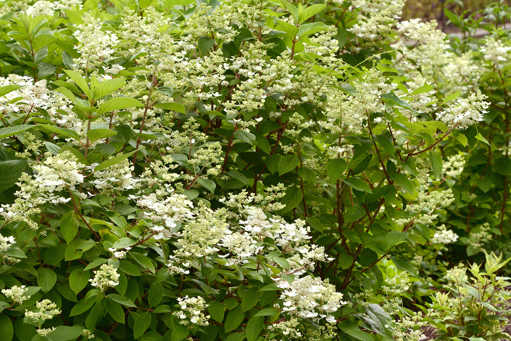 Buddleia_CranRazz_blooms_004.jpg