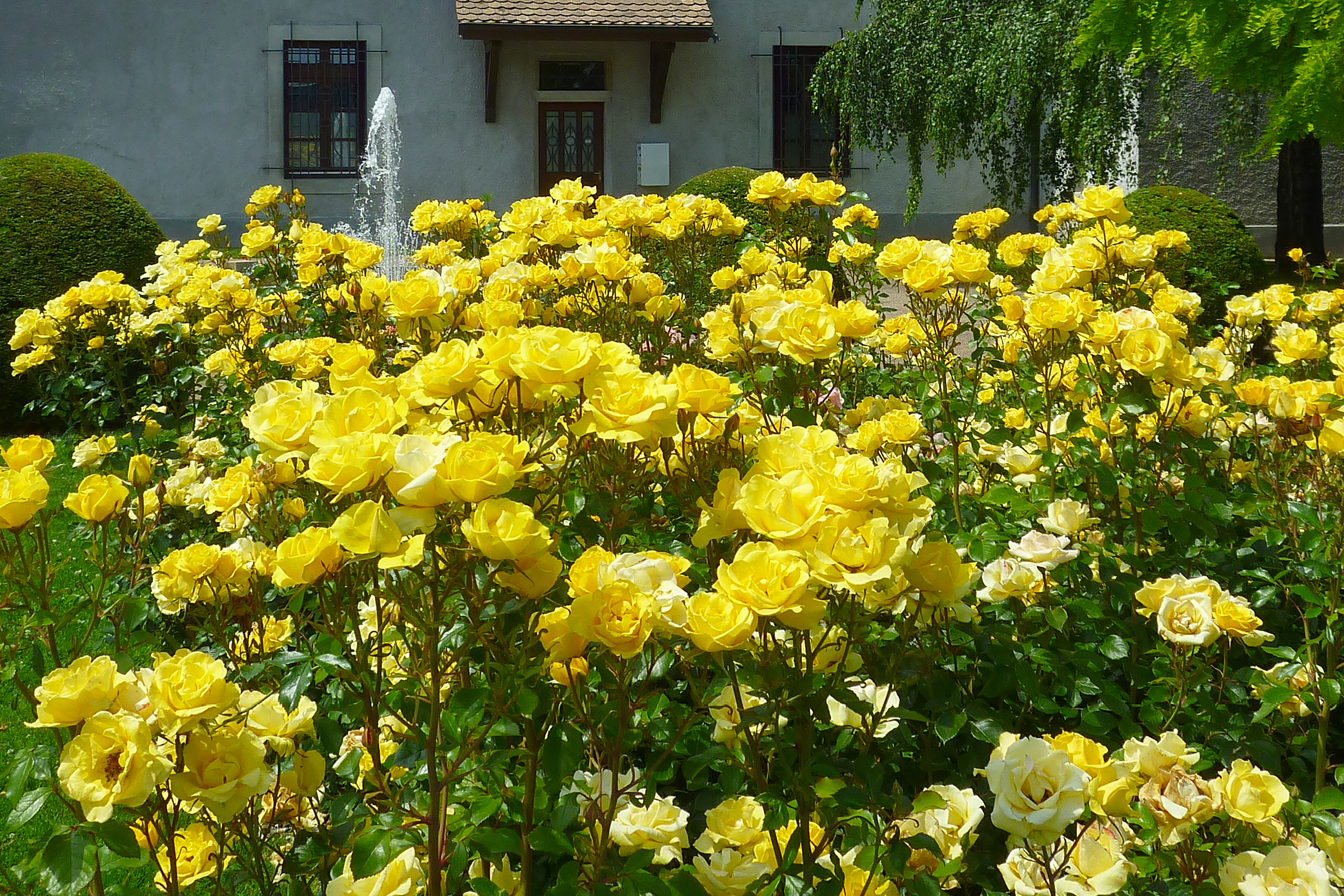 Gilded Sun™ is a vibrant, yellow rose that shines anywhere.