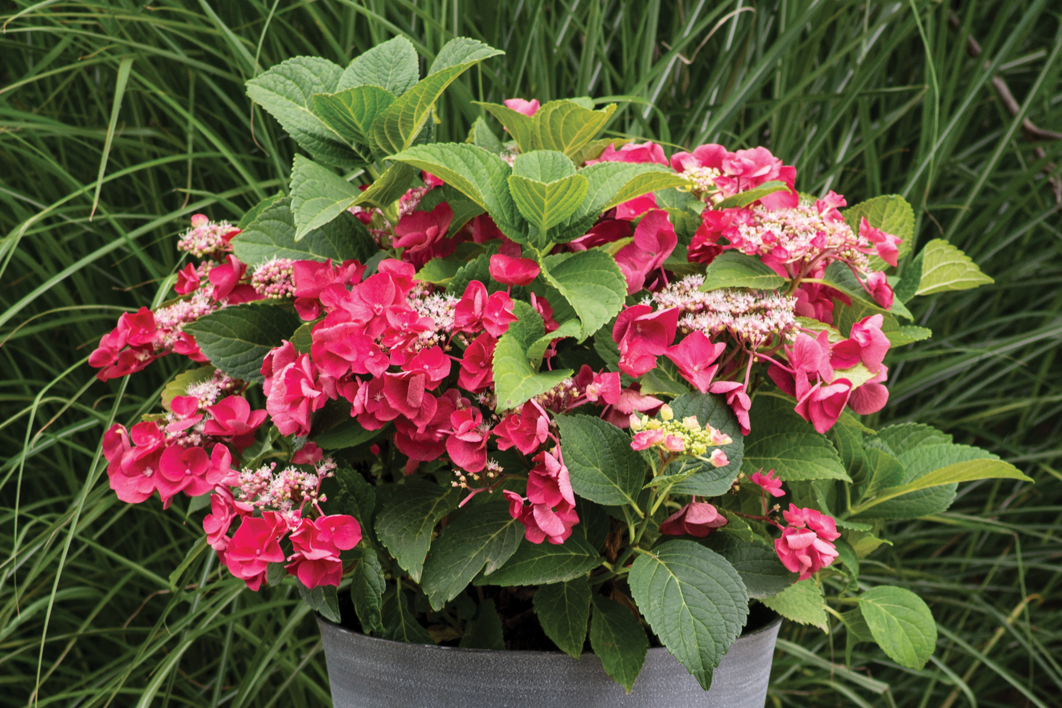Hydrangea Cherry Explosion creates a dramatic pop with huge, cherry red blooms.