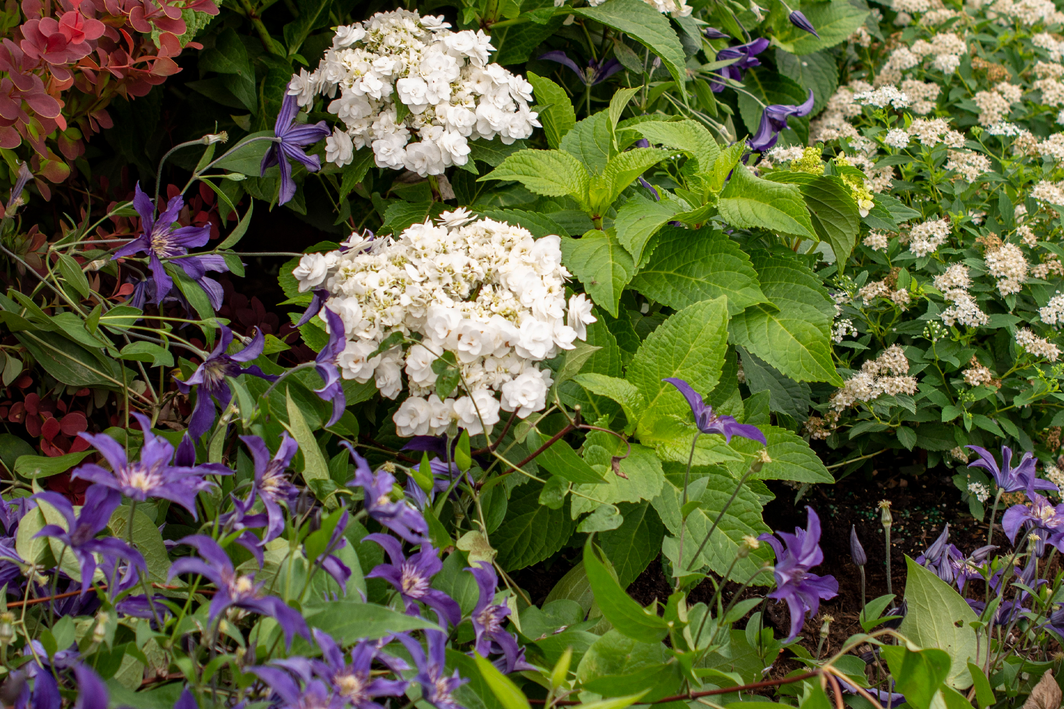 Clematis Sapphire Indigo™, Spiraea Yeti™, and Hydrangea Wedding Gown work well together to create the perfect display.