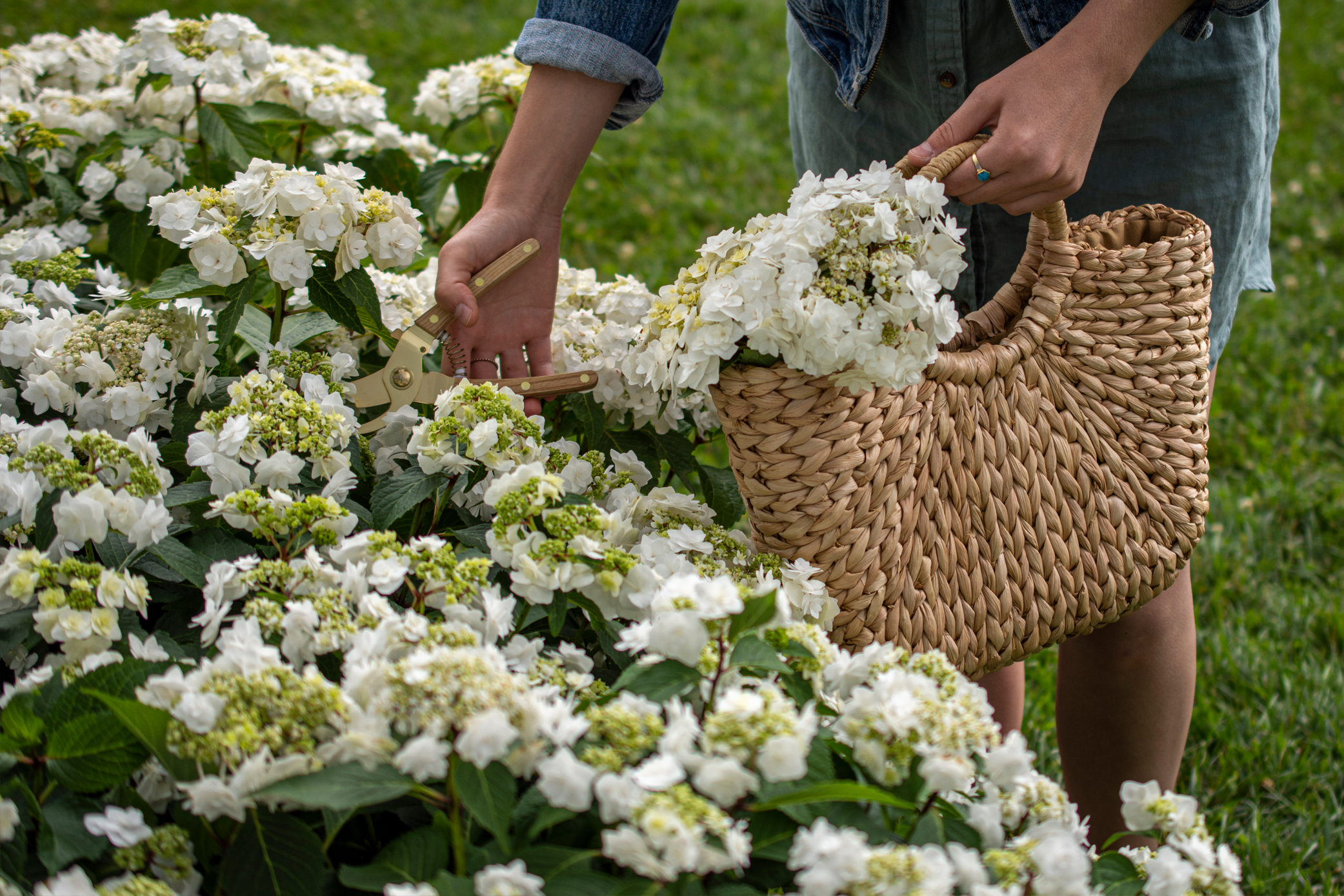 Hydrangea Wedding Gown delights with pure white blooms against dark green foliage.