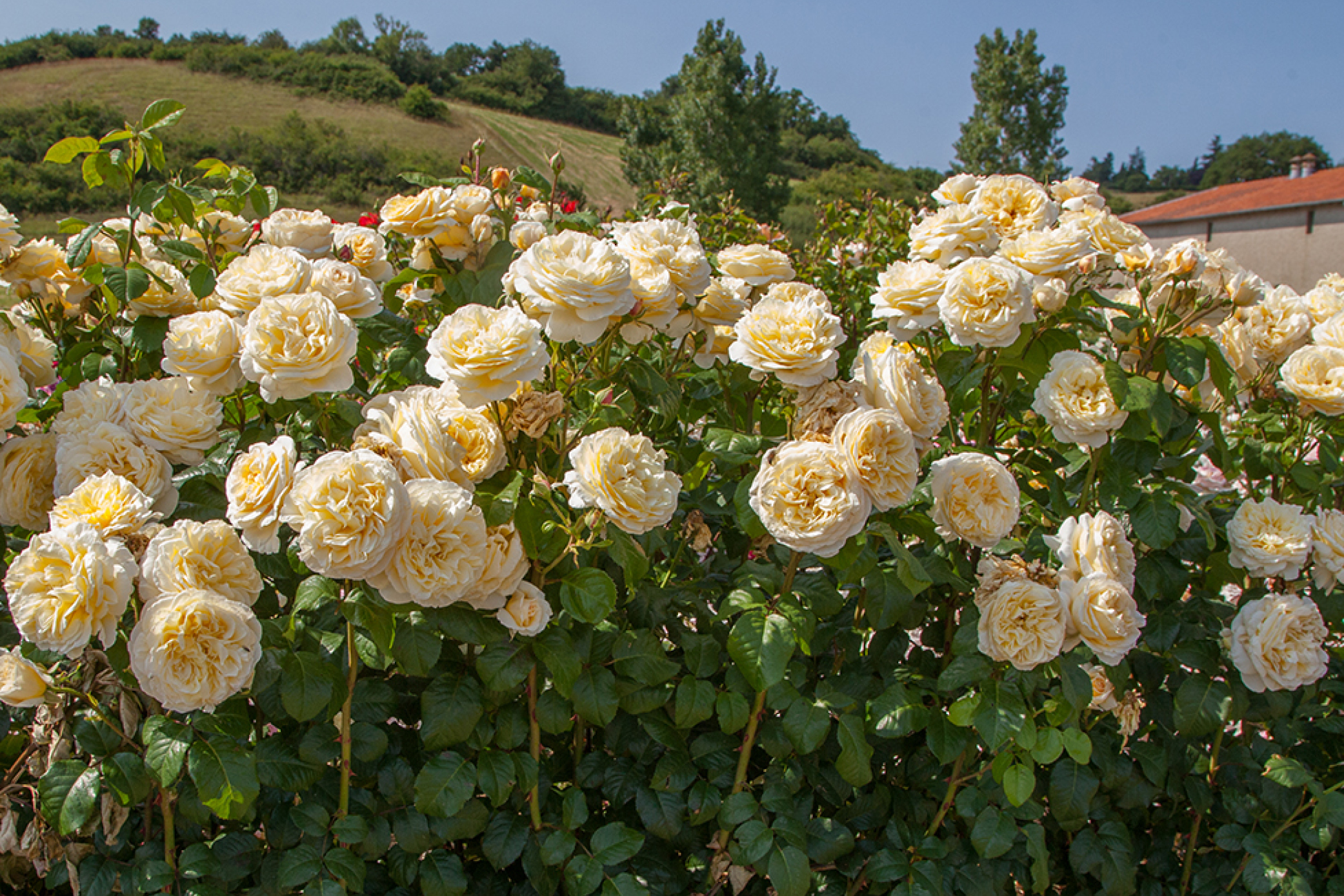 Moonlight Romantica® offers light yellow flowers that are extremely fragrant.