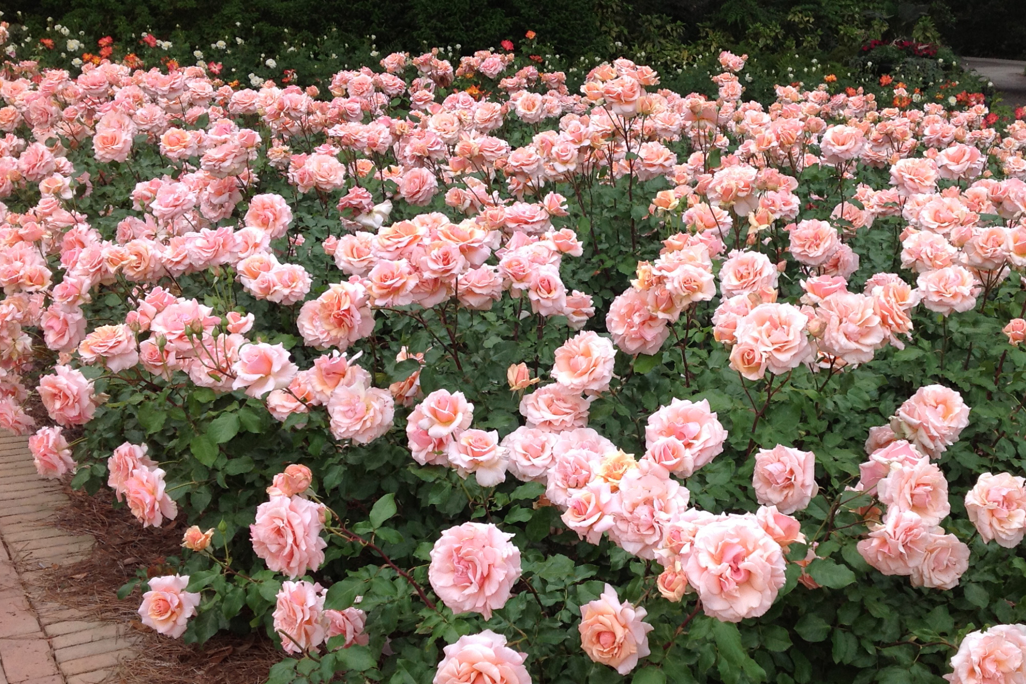 Mother of Pearl® has salmon, pink flowers that thrive in many different climates.