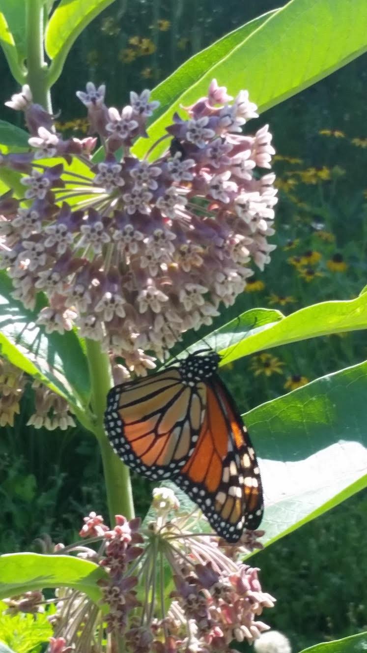 pollinator garden, butterflies, monarchs, Illinois