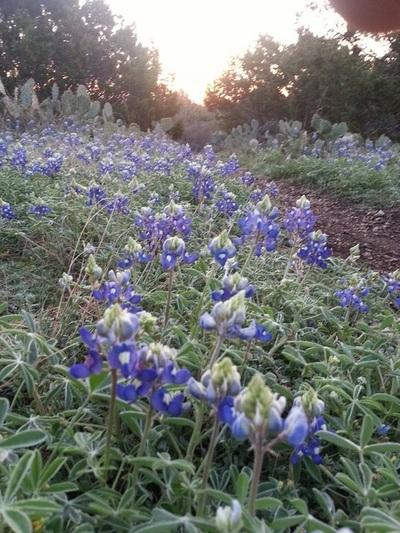 Full of bluebonnets in spring