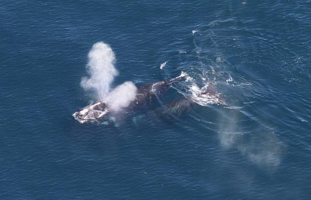 The landmark agreement includes measures to protect right whale moms and calves      Image collected under MMPA Research permit number 17355. Credit: NOAA Fisheries/Christin Khan.