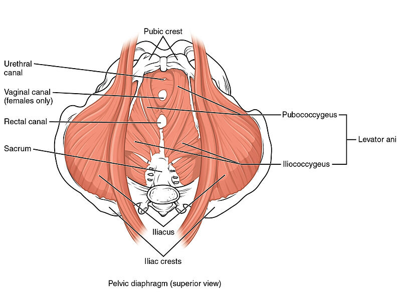 The pelvic floor is actually made up of several muscles working together.