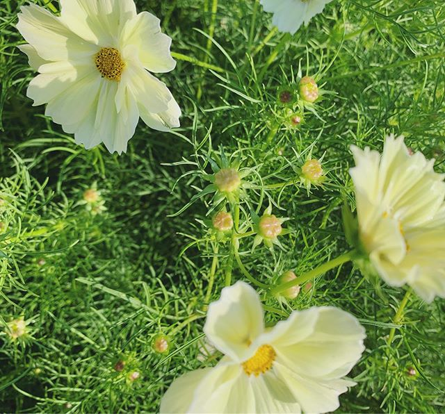 These lovely pale yellow dancing cosmos just popped this morning after a marvelous evening shower. Out doing the morning rounds and can not stop going back to the row bed of magical whimsy Millerton Market here we come... see you all this Saturday with so many stunning surprises! @neccmillertonfmkt and for @beetlebug_style . . . . . . . . #ihavethisthingwithflowers #farmersmarket #farmerflorist #sustainableliving #growyourown #cosmosflower #paleyellow #whimsical #mondaymood #happymondayeveryone #composting #farmtomarket #inspiredbynature #farmtostudio #eventstyling #inbloom #freshlypicked #sixacrewoodfarm farmerflorist #closetheloop #cosmos #naturestyling #shoplocal #grownnotflown