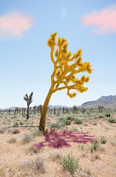 "Joshua tree yellow,  2018, Édition de 5, impression pigmentaire, 30 x 20 ""."