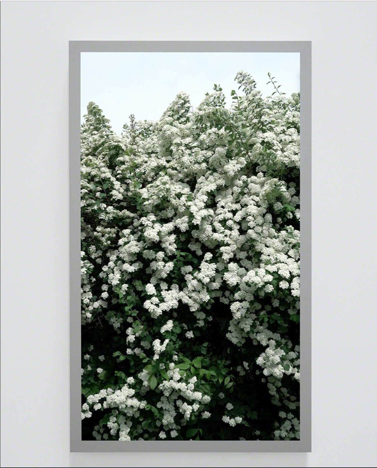 Spirea prunifolia, Bridal Wreath (Back and Forth Picture) , Ed 1/4, 2016, Vidéo sur moniteur 4K ultra HD