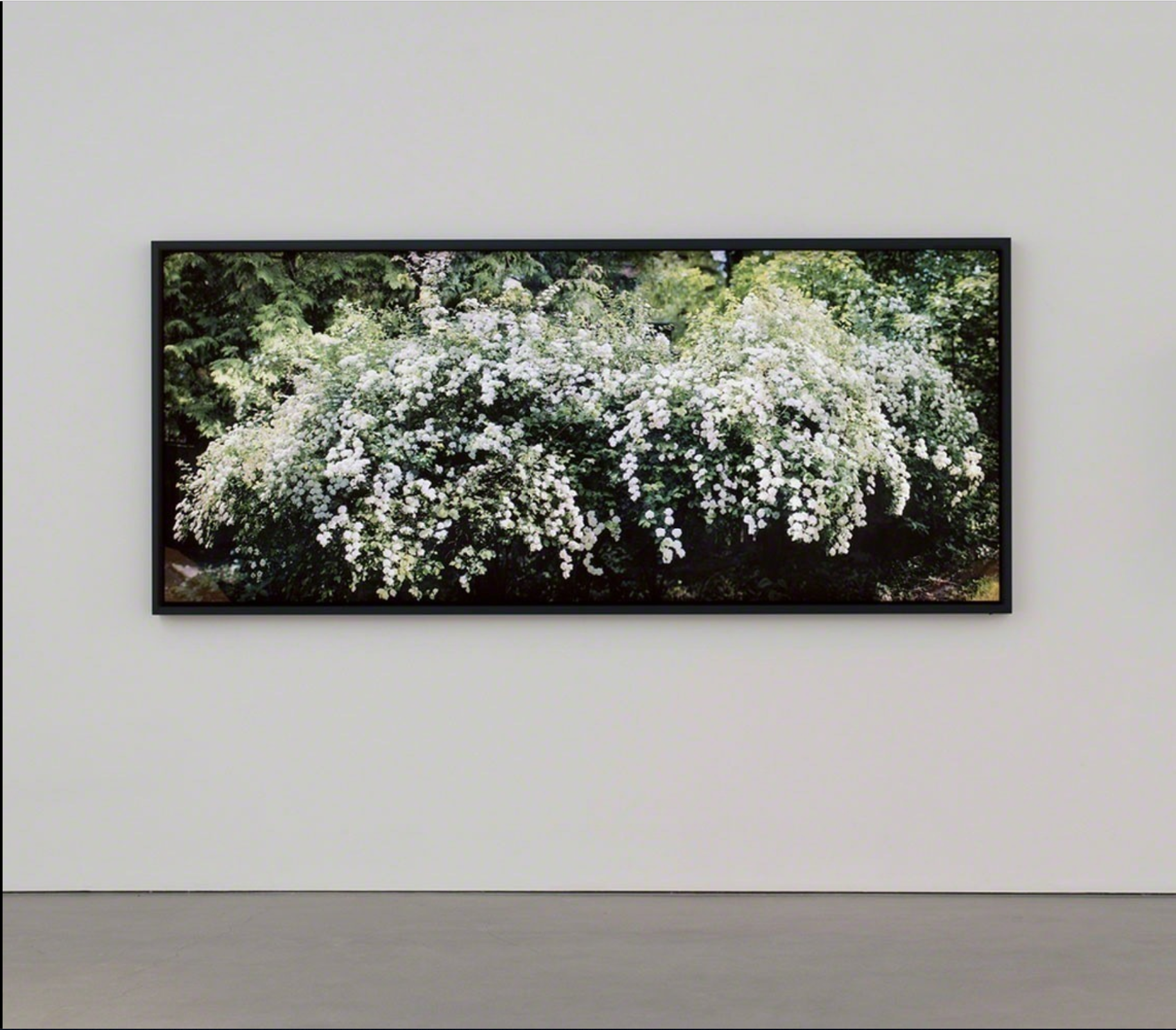 "Spirea prunifolia,  Ed 2/3,  Bridal Wreath with Effects of Sunlight , 2014, Épreuve à développement chromogène montée sous boîtier lumineux au LED, 42"" × 160"""