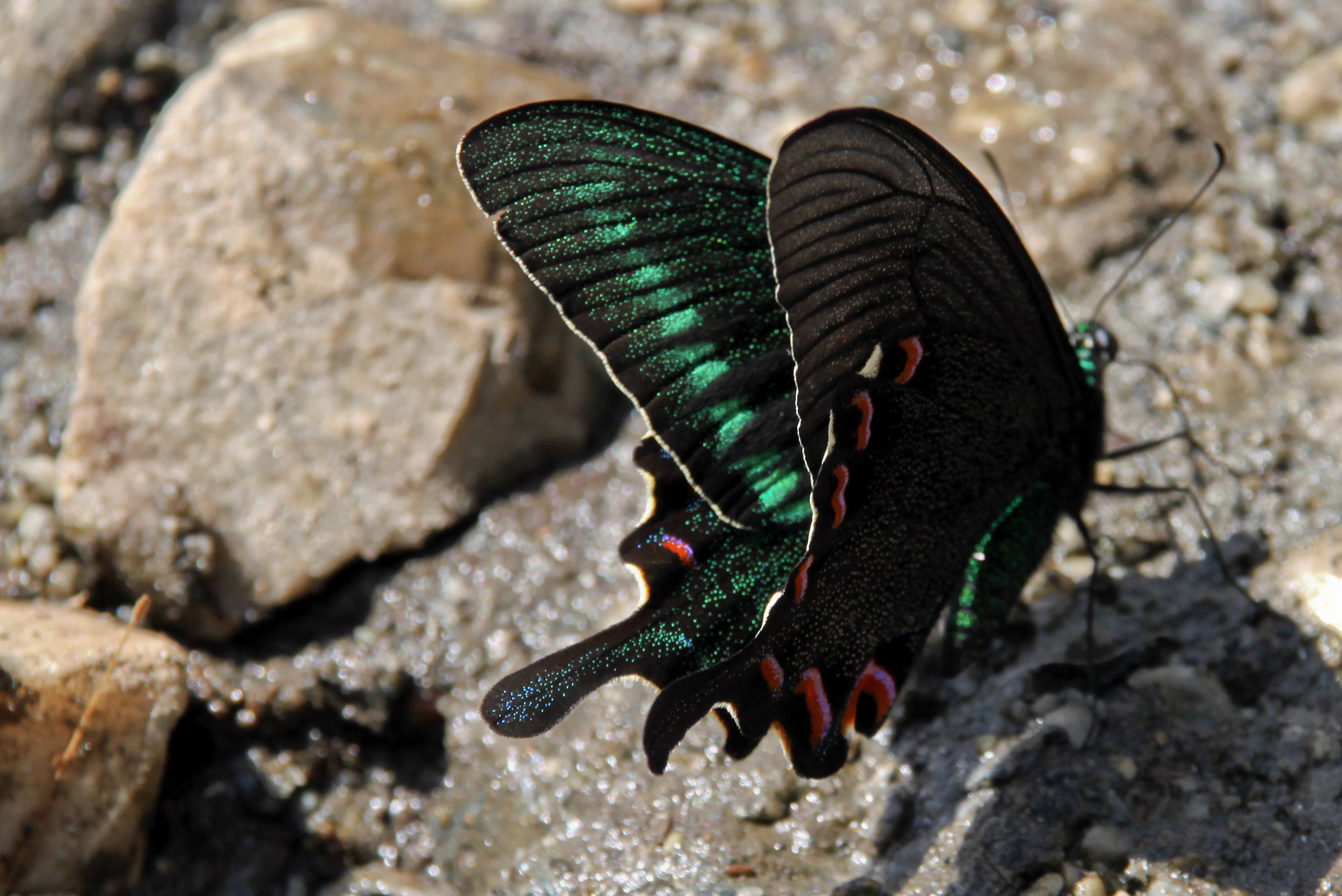West Himalayan common peacock ( Papilio bianor polyctor ). This is the official butterfly of the Indian state of Uttarakhand, which means that this insect is part of the identity of more than 10 million people. Photo: Amos Zerah