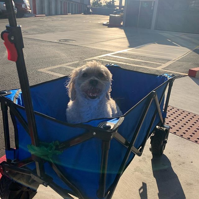 The sidewalk is too hot for his paws so Osito takes his #RoyalChariot to the dog run for a #RoyalPoop