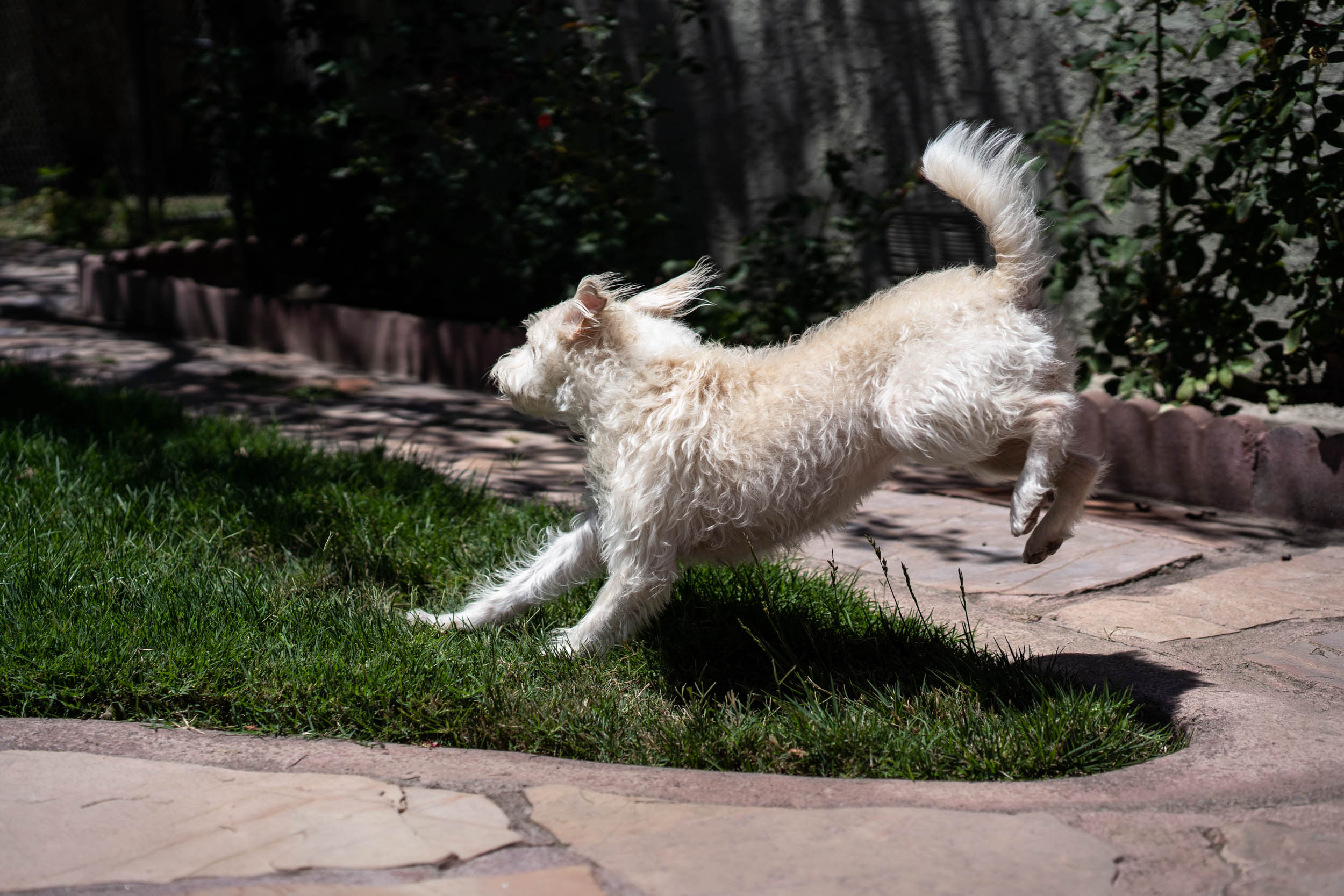 And the elusive action shot. All I had to do is wait for that little Chihuahua to walk by - she hates that guy.
