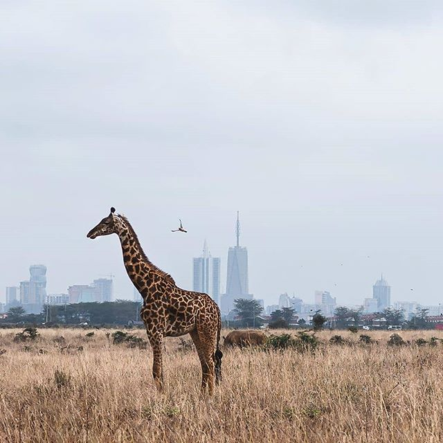 When in #Nairobi , it's possible to experience the wildlife ecosystem without going too far!! #NairobiNationalPark  Park rangers, safari guides, wildlife preservation associations, nature photographers, animal rescue rangers and so many other nature focused entrepreneurs are part of this ecosystem  We make it easy for you to discover, connect, learn, engage and contribute to all of it 🌄🦓 #EcosystemExplorers #citysafari #nairobi #kenya #kenyanentrepreneurs #wildlife #nature #safari #africa #discoverafrica #discoverkenya 📸 @namuks