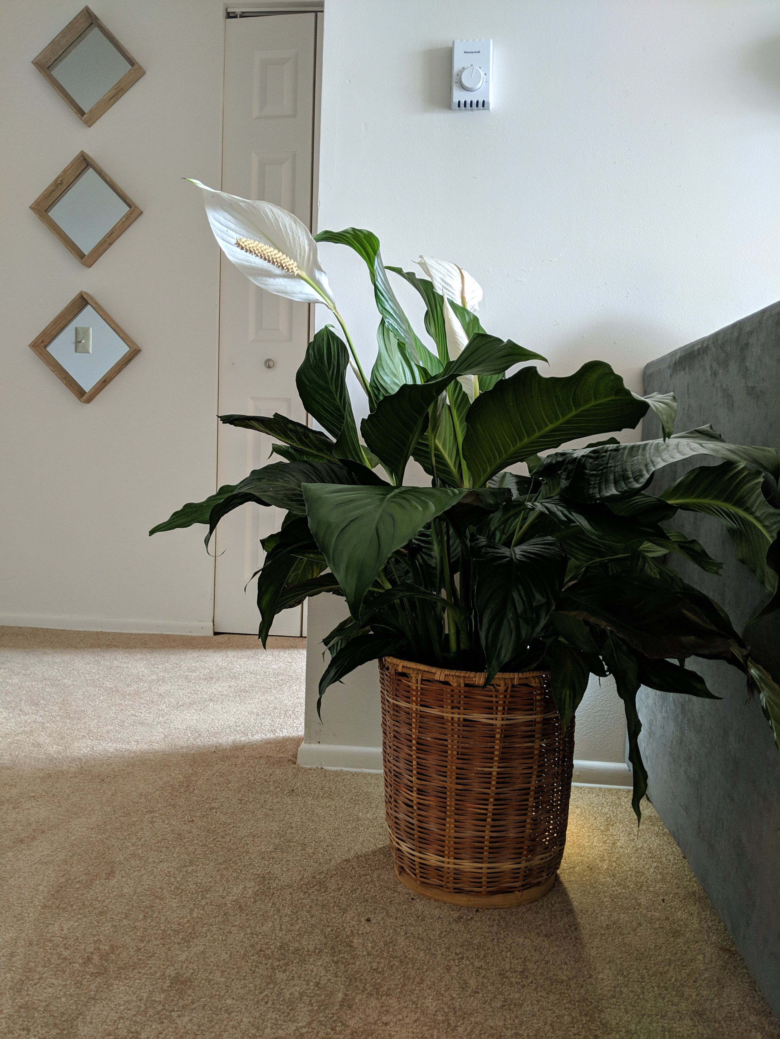 I'm a basketcase, I know. - This was actually a leftover from Eli's mom's garage sale. She let us pick whatever we wanted, and for a while I was using it to hold Wednesday's toys. But when my mom gave me this Peace Lily as a housewarming gift, I knew it was a match made in basket heaven.