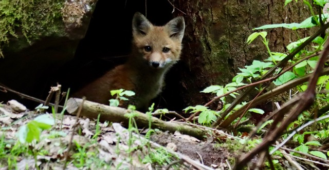 Suze spotted a den of foxes and we were able to get back with a camera and get a couple of pictures. This little guy wanted to know what we were up to!