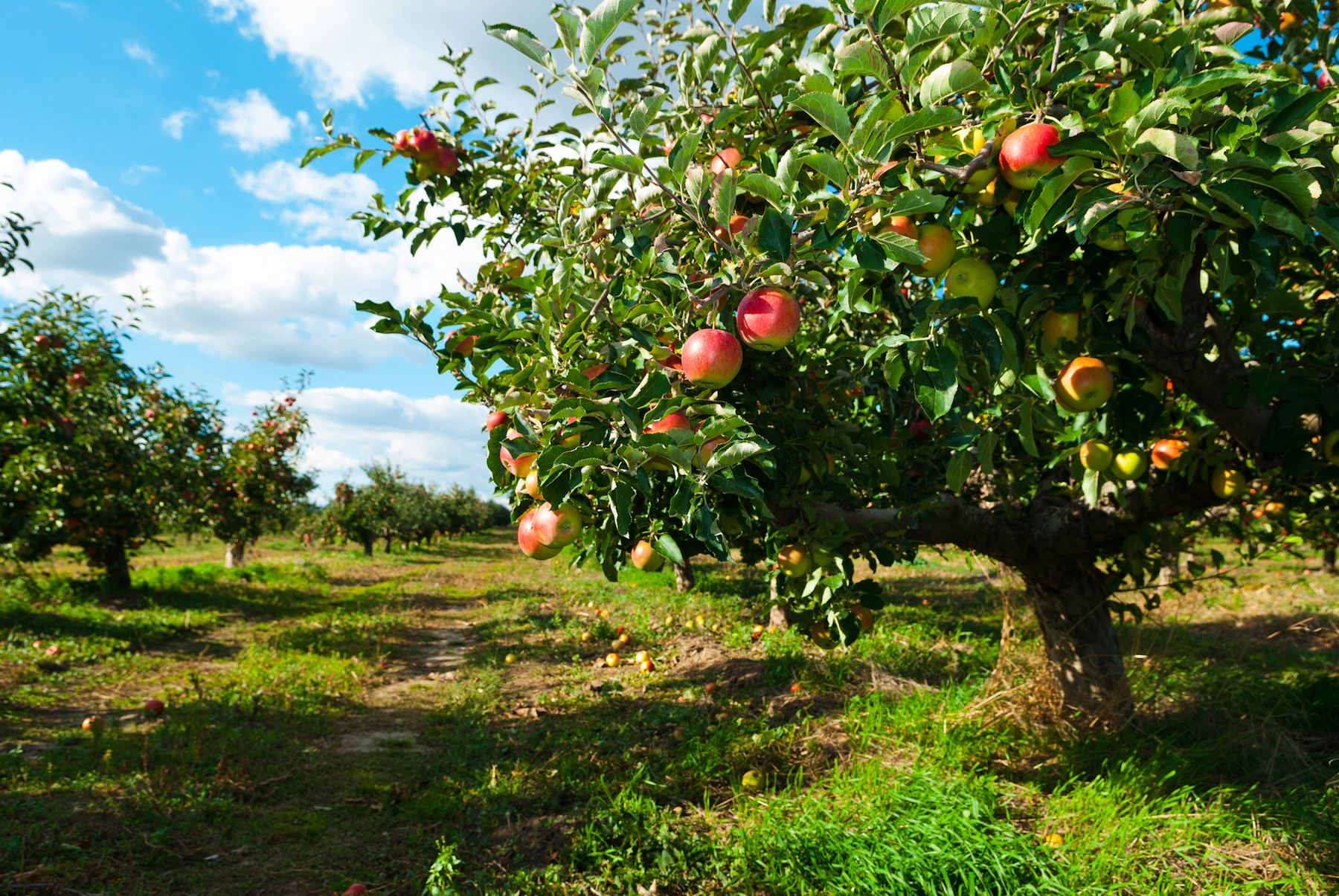 Apple-trees-in-orchard.jpg