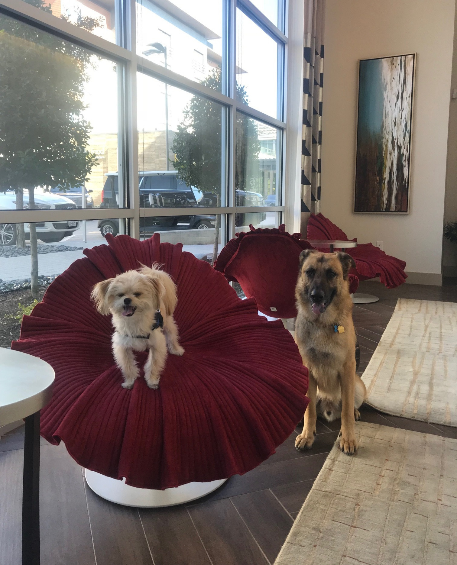 Oso with his buddy Gunner as he excitedly waits to receive the keys to his new luxury apartment at The Grand Legacy West in Plano, Texas!