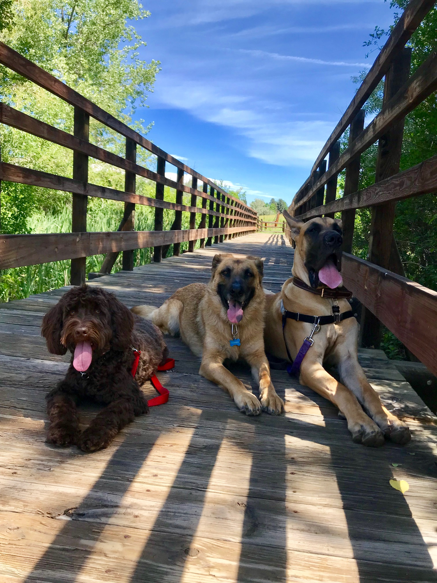Bennie, Gunner & Prince stopping for a quick pic during our hike in Cherry Hills. All 3 pups highly benefit from our fun, mentally and physically engaging fitness hikes. Helping each of them become more responsive and relaxed in their daily lives :)