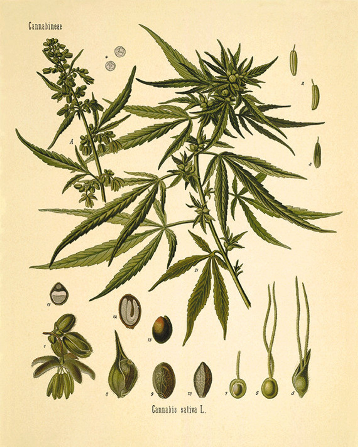This gorgeous botanical illustration by Herman A. Kohler is from a series of hand colored litographs. It comes from the 1887 German book of Medicinal Plants.