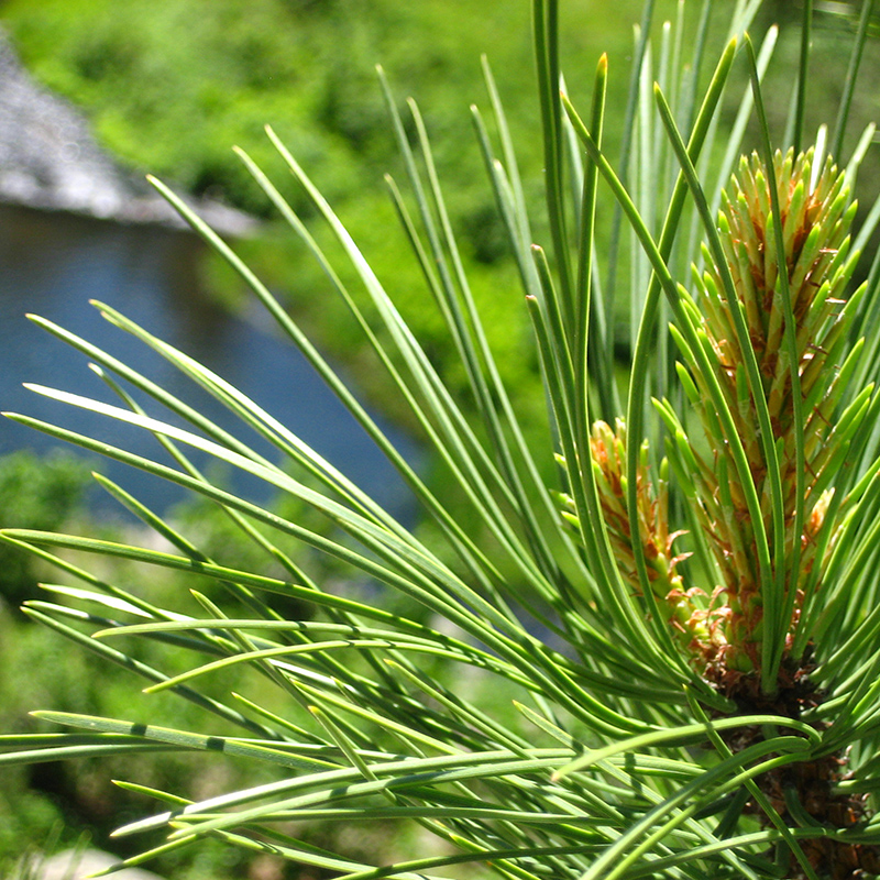 pine-trees-black-hills-cabins-rapid-city-south-dakota