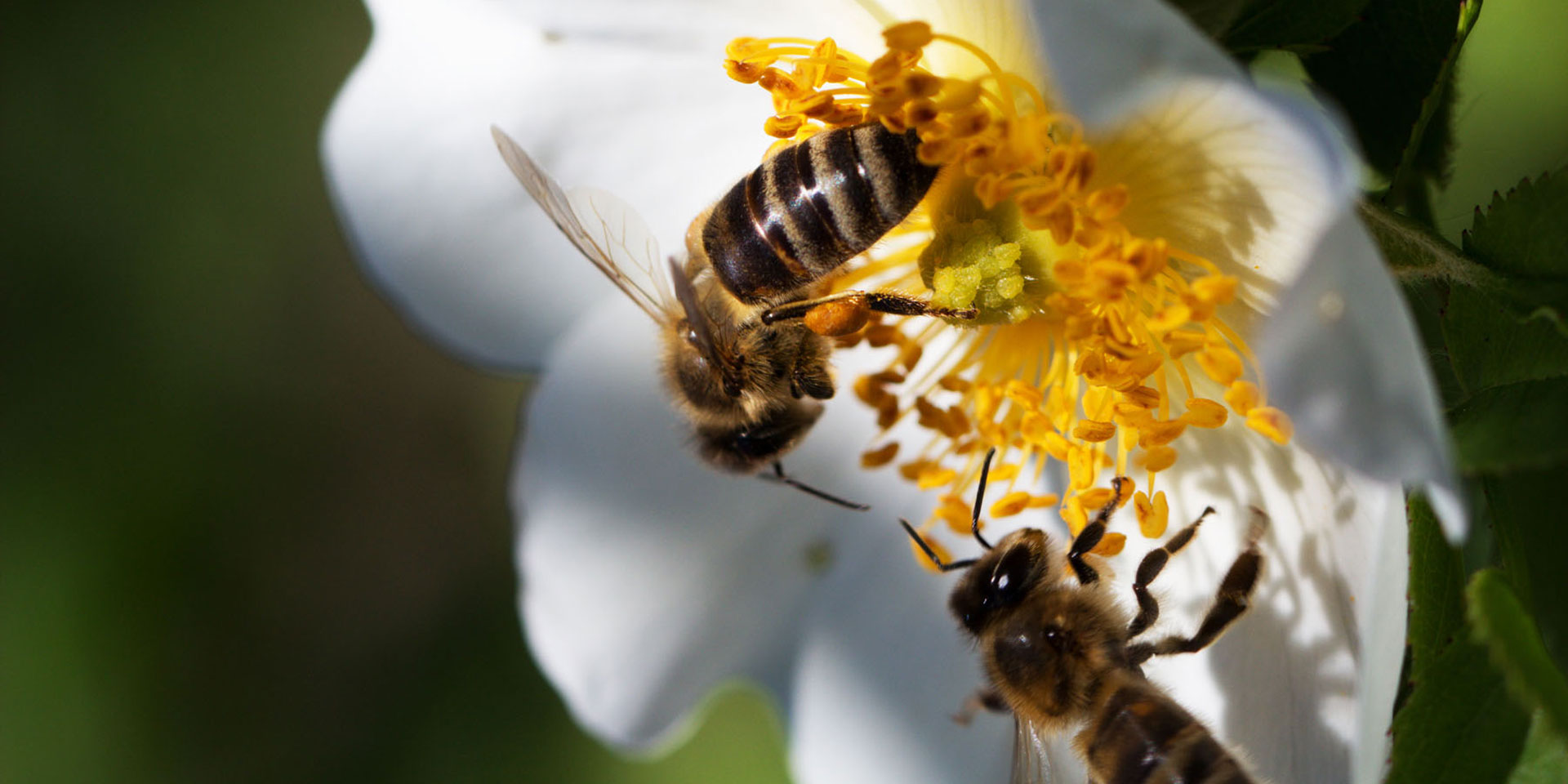 MEBW_Pic_Shutterstock_bees-on-white-flower-crop.jpg
