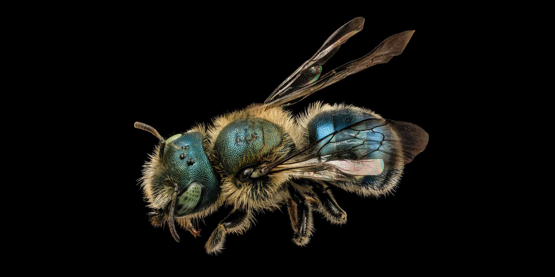 Osmia atriventris (Maine Blueberry Bee) - One of the more than 276 bees native to Maine!