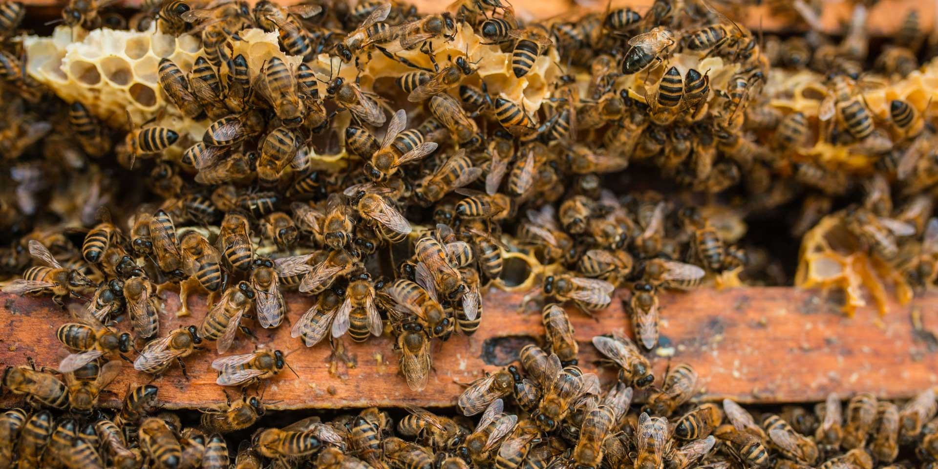 top-MEBW_PIC_shutterstock_bees_in_hive.jpg