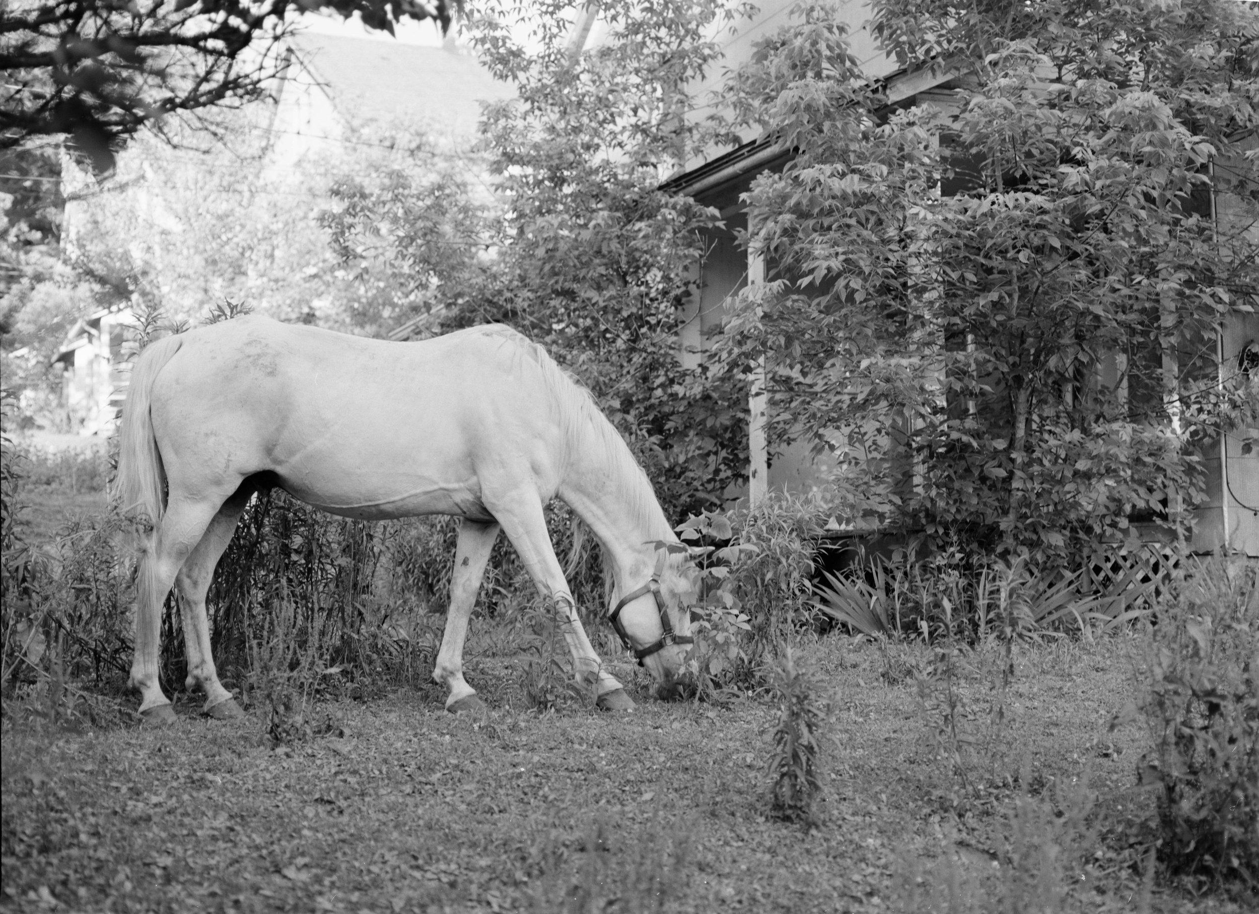 Yellow Dog white horse.jpg