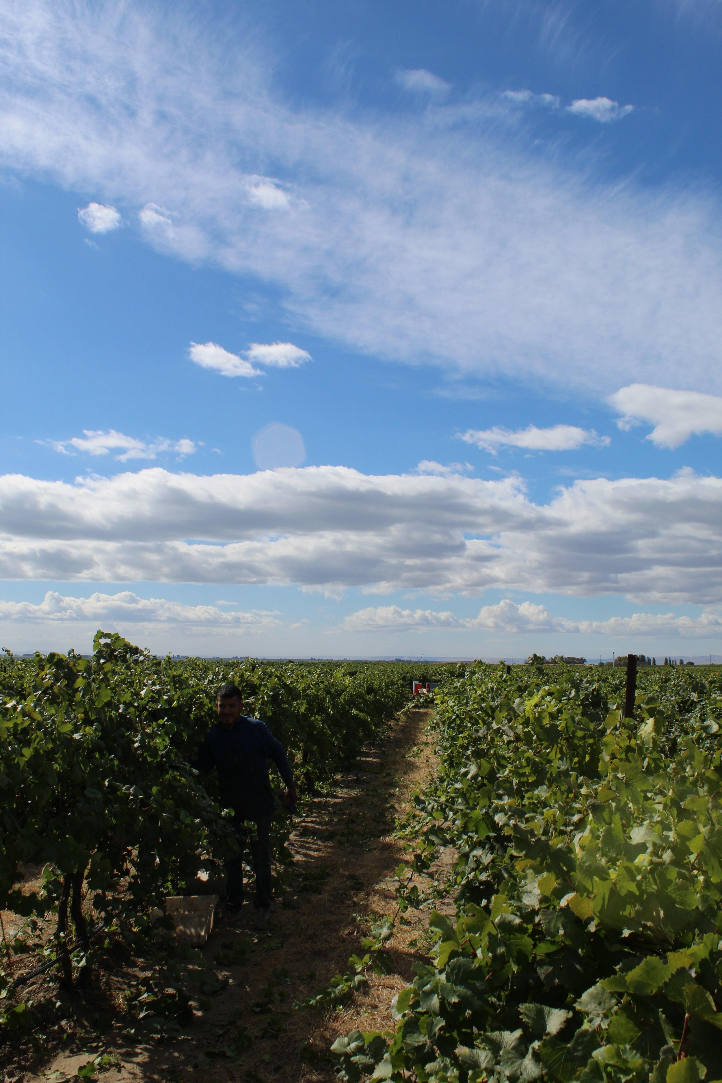Gamache Vineyard