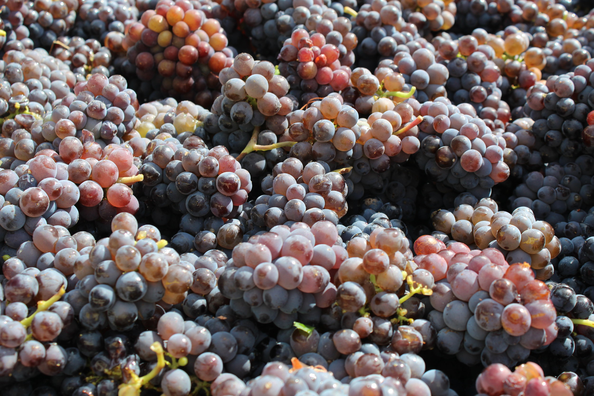 Pinot Gris at Harvest