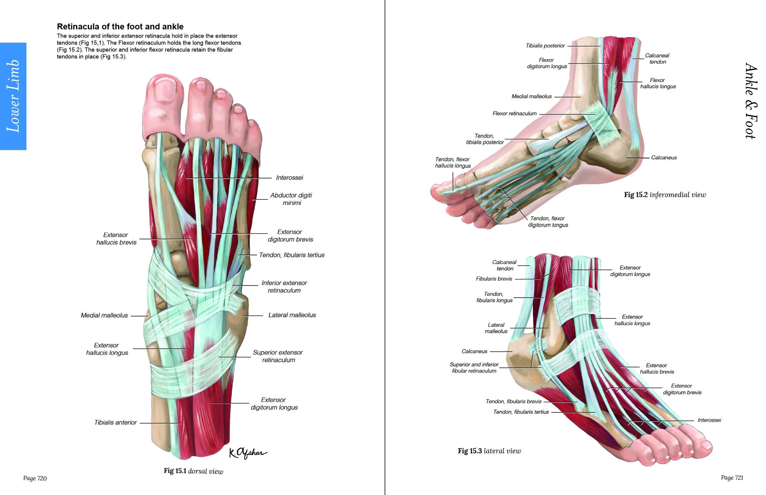 Retinacula of Feet-01.jpg