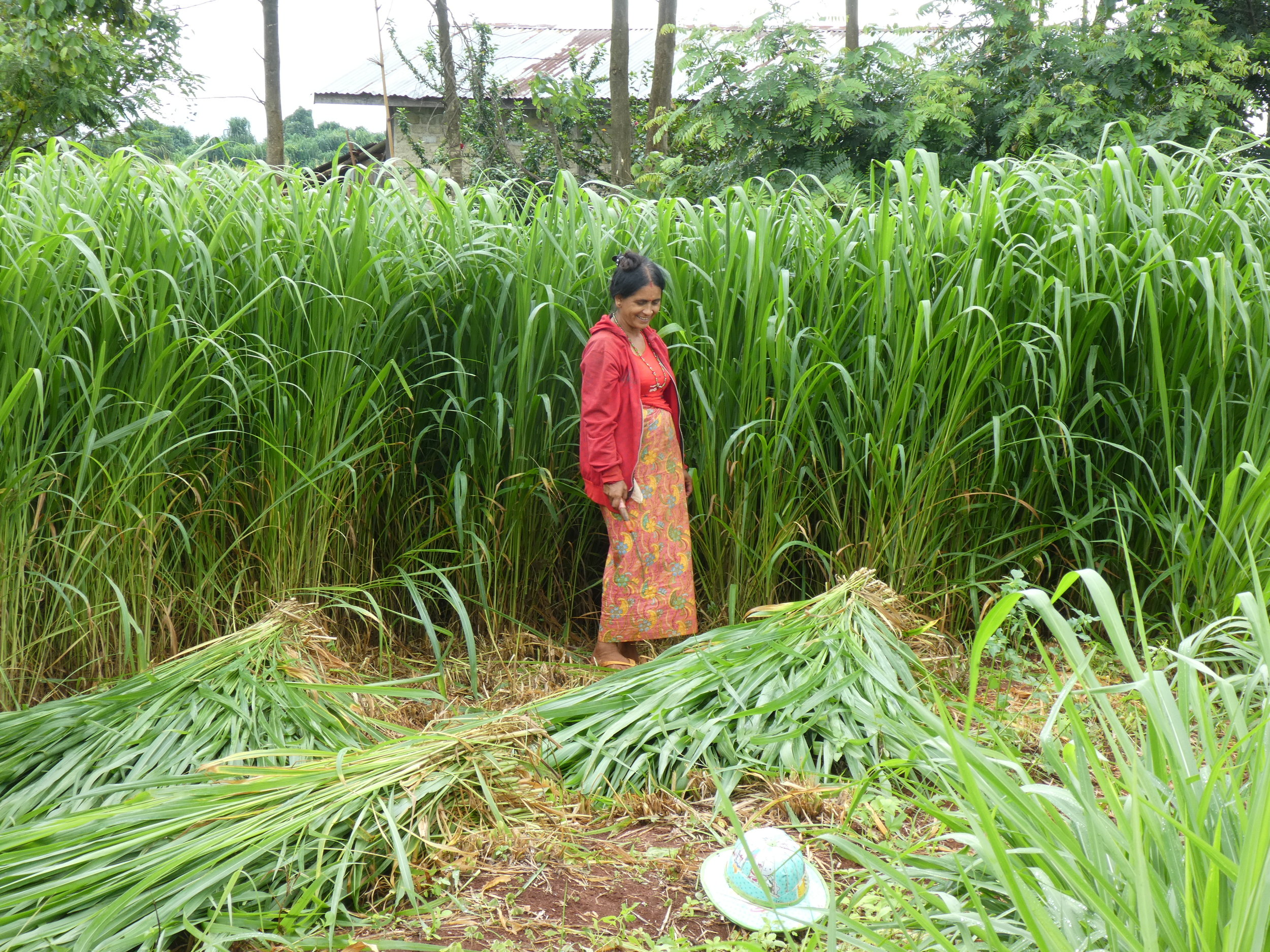 A farmer harvesting her new stand of Mombasa grass