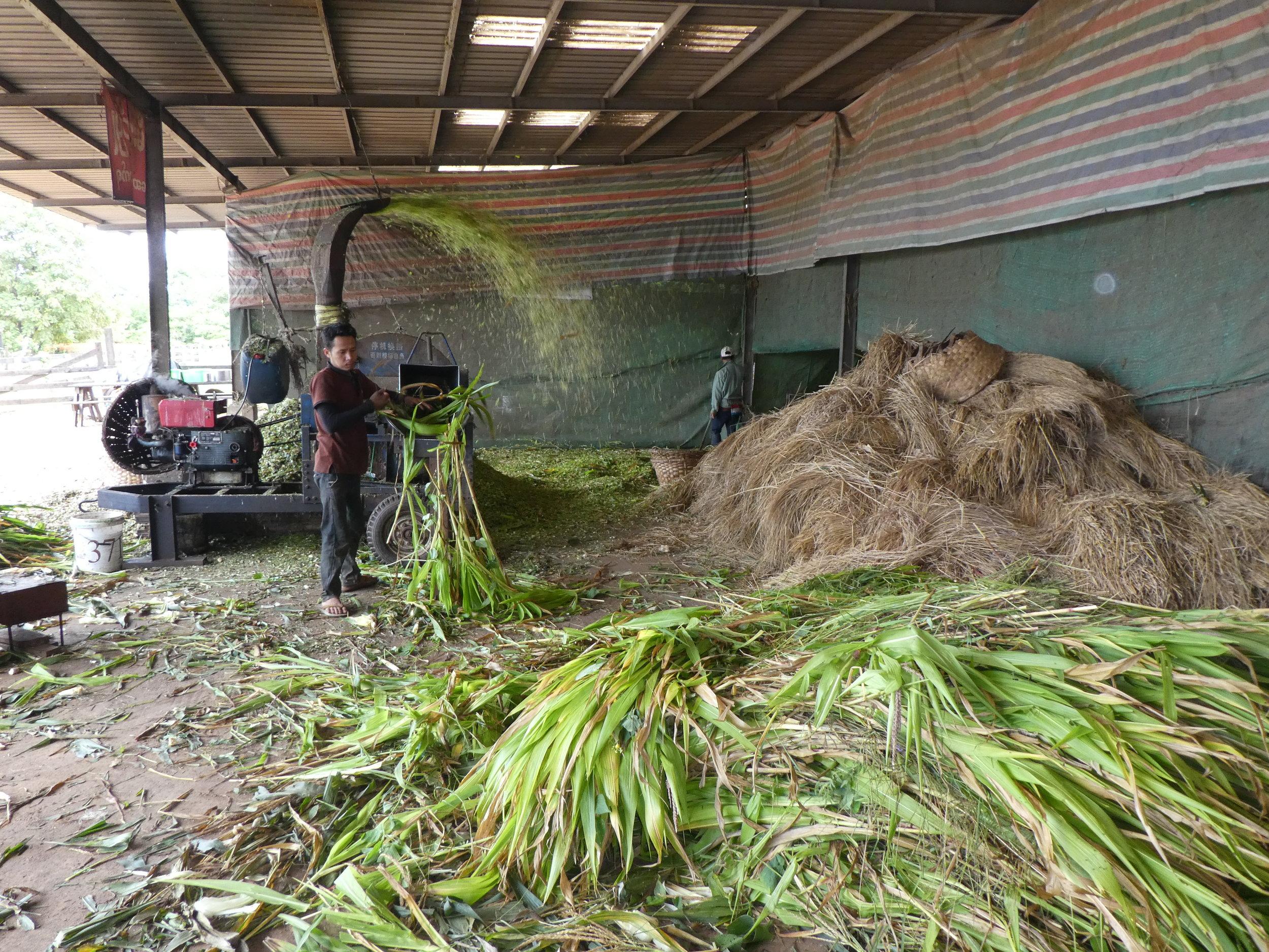 Chopping forage maize