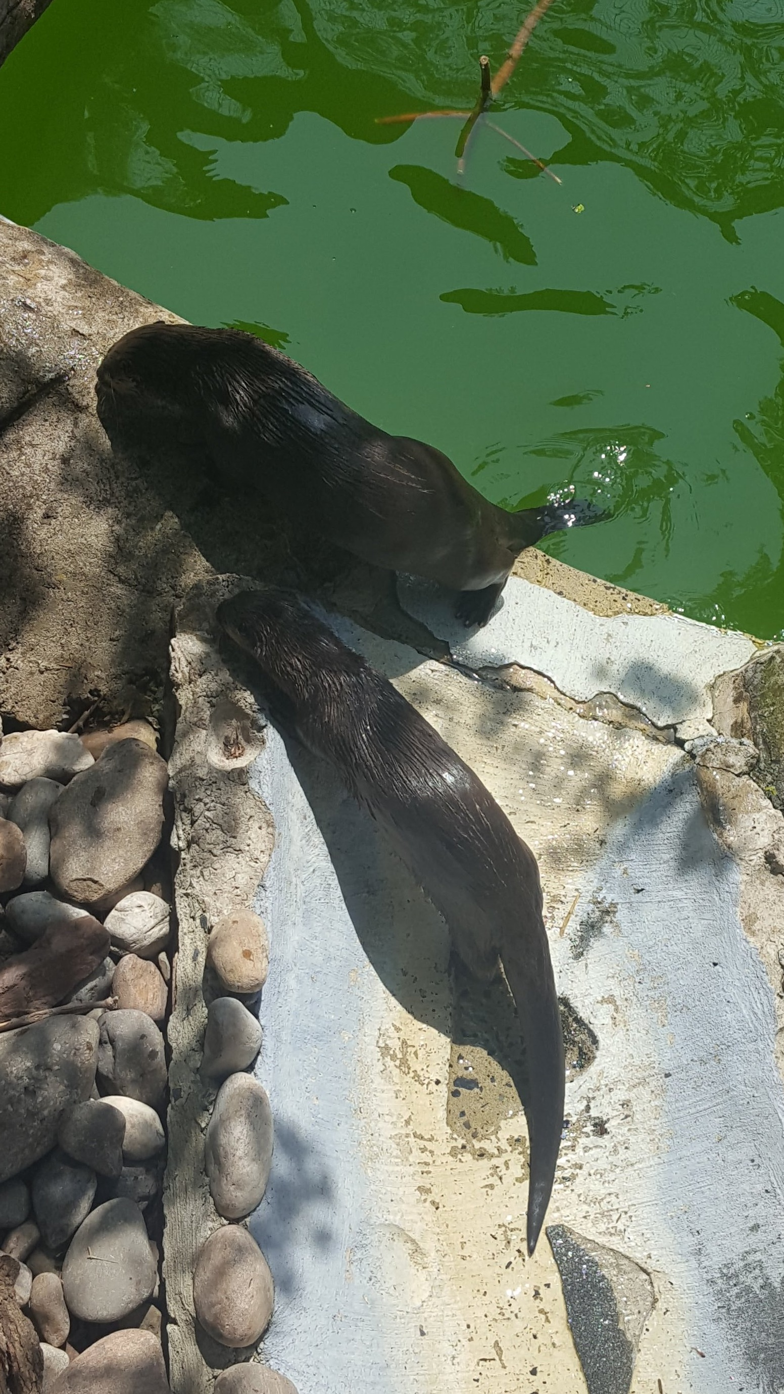 Otters+Playing+and+Keeping+Cool+in+the+Summer+heat