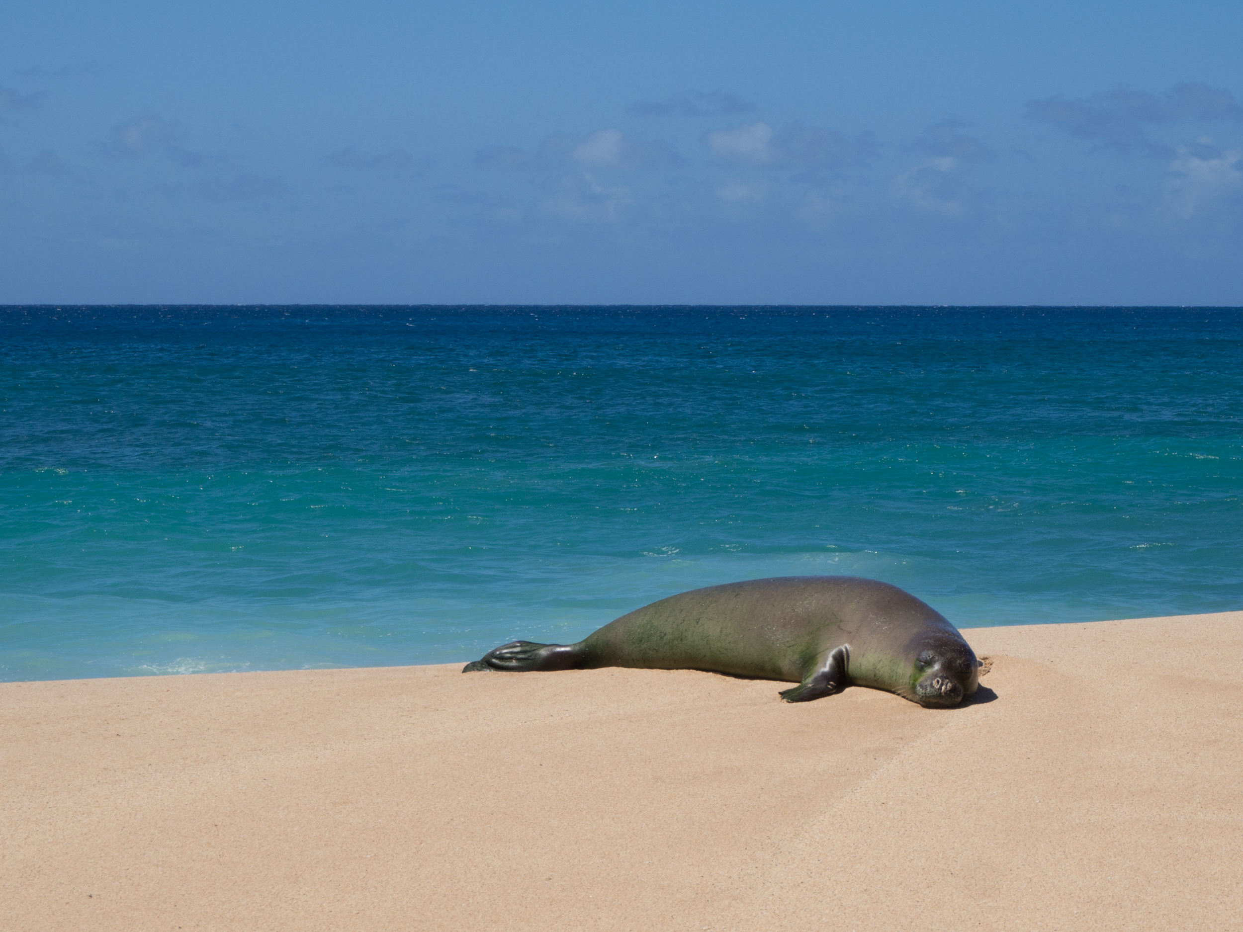 hawaiian_monk_seal_leila_chieko.jpg