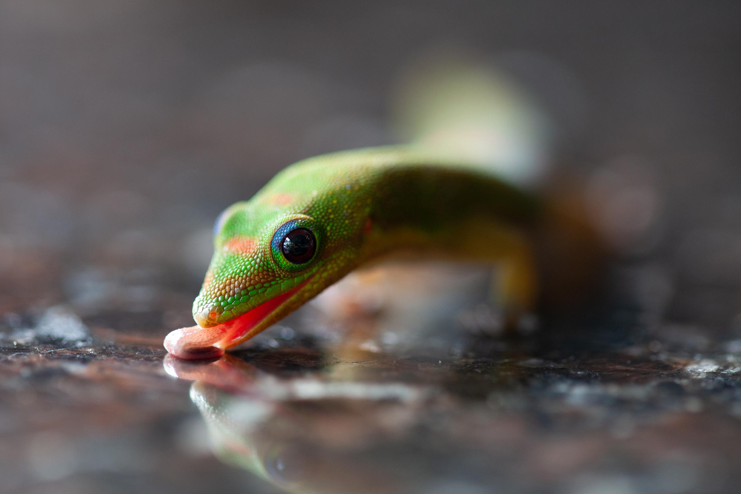 gecko_tongue_leila_chieko.jpg