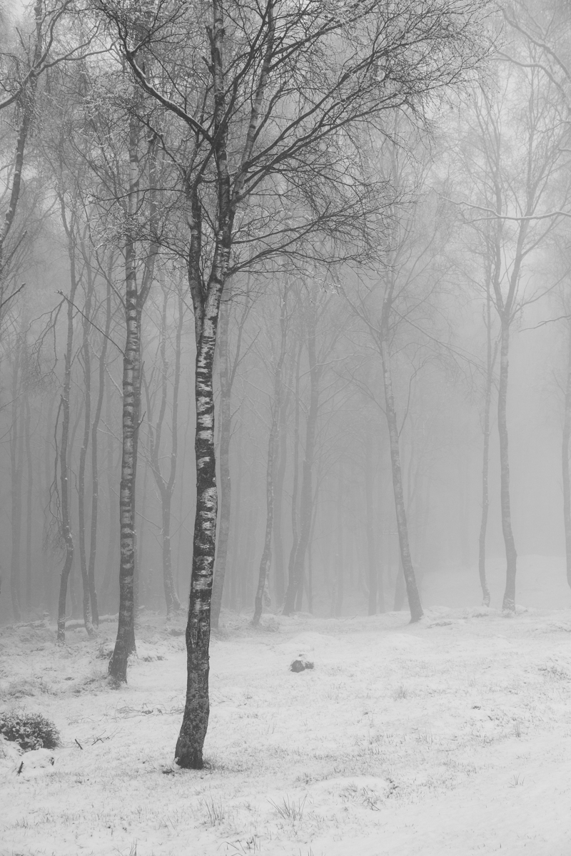 Birch by Andy Clark