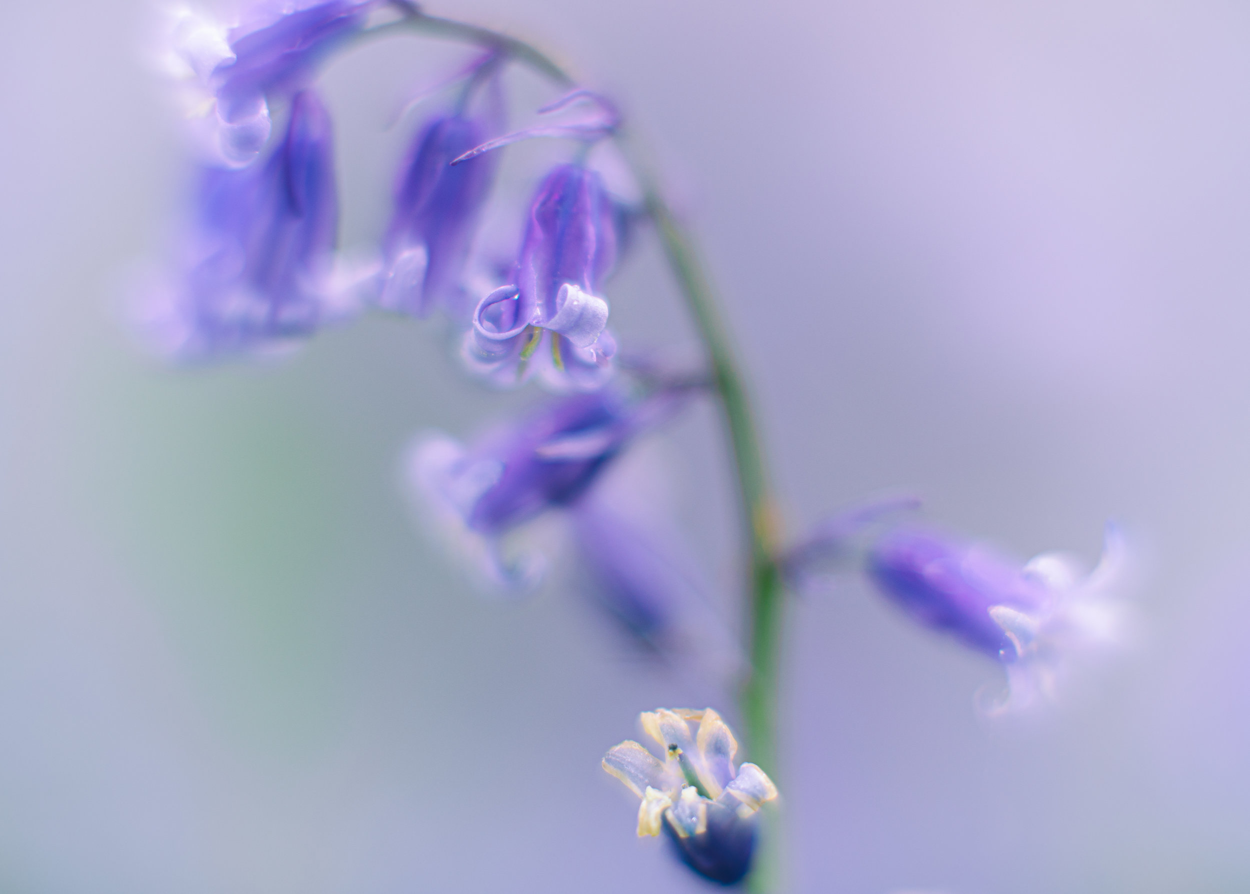 Bluebell by Andy Clark