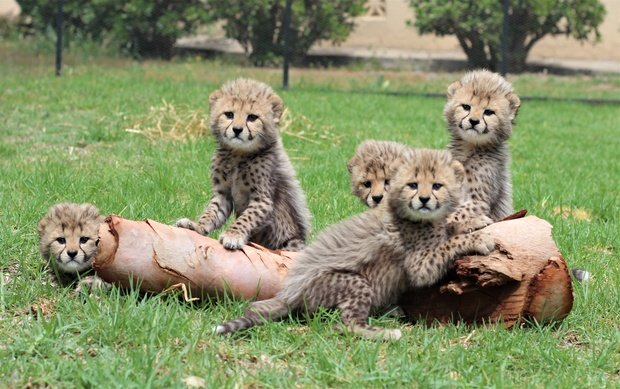 The Baby Cheetahs wish you luck… and discourage you from  cheet ing.