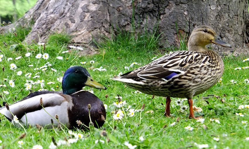 Ducks-JMP-Blog.jpg