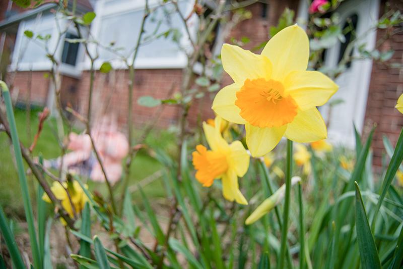 daffodils-again.jpg