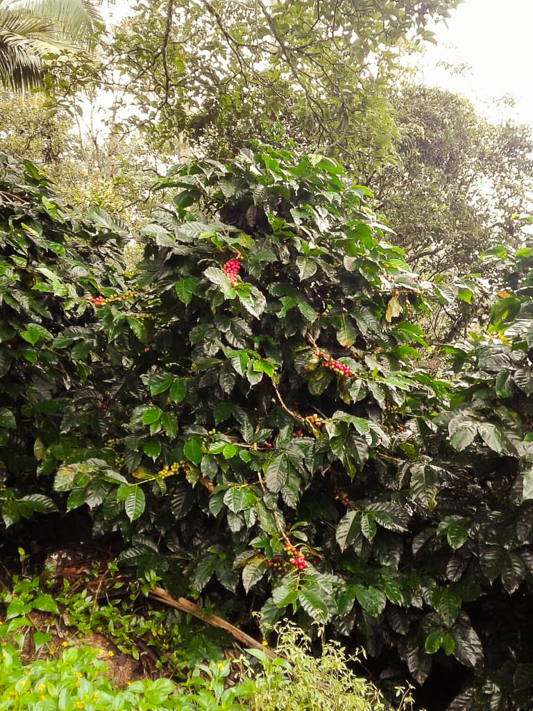 Plante de café